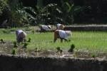 TANAH BENGKOK : Pemkab Kudus Minta Pemdes Tunda Pembagian Hasil Lelang