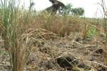 154 Hektare Lahan Puso di Jateng Dapat Ganti Rugi