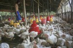 Pinsar Jateng Terapkan Sistem Ini Biar Harga Ayam Tak Jeblok