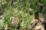 Gagal Panen karena Kekeringan, Petani Madiun Cairkan Klaim Asuransi Pertanian