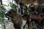 Solo Grand Mall Serahkan Hewan Kurban ke Panti Asuhan