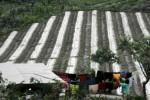 GUNUNG SINABUNG MELETUS : Pemerintah Siapkan Bibit Pengganti Bagi Korban Sinabung