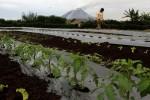 FOTO PETANI SINABUNG : Menyemprotkan Pestisida