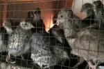 Disperntan PP Teliti Kematian Massal Burung Puyuh, Hasilnya?