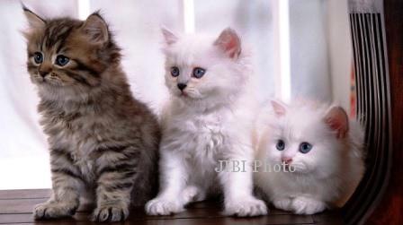 HEWAN PELIHARAAN : Jual Beli Kucing Haram? Begini Diskusi Paguma…
