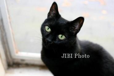 Mitos vs Fakta Kucing Candramawa atau Kucing Hitam Seperti Milik PB X