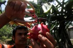 FOTO TAHUN BARU IMLEK : Memanen Buah Naga
