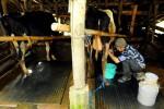 KAMPUS DI SEMARANG : Undip Sulap Bandotan Jadi Desinfektan