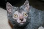 Breeder AS Kembangkan Kucing Mirip Serigala