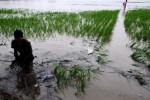 BENCANA BANJIR : Pemerintah Siapkan Rp200 Miliar Ganti Rugi Puso