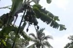 KISAH UNIK : Wow, Pohon Pisang Ambon Ini Bertandan 4
