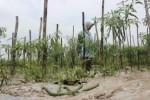 BANJIR KLATEN : Terendam Air, Tanaman Cabai di Bayat Mati