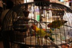 FOTO BURUNG LOVE BIRD : Memajang burung Love bird