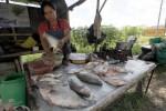 POTENSI PERIKANAN : Budi Daya Ikan Tetap Normal Saat Kemarau