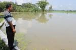 BANJIR KLATEN : 61 Ha Lahan Padi di Wedi Puso karena Terendam Air