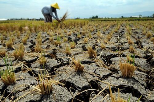 PERTANIAN KLATEN : Minim Pasokan Air, Areal Pertanian 1.500 Hektare Terancam Gagal Panen