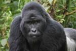 KISAH UNIK : Dikira Gorila, Petugas Kebun Binatang Ditembak Senapan Bius