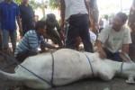 IDUL ADHA 2015 : Magelang Melatih Puluhan Juru Sembelih