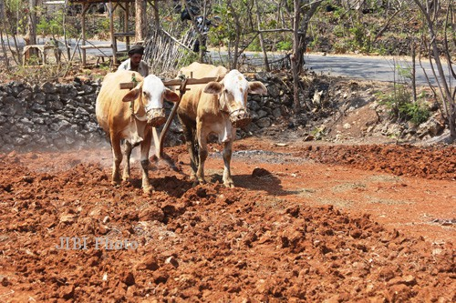 The Story of a Rice Plow With Cow Power