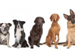 POLEMIK DAGING ANJING : Ahok Didesak Susun Perda Larangan Konsumsi Daging Anjing