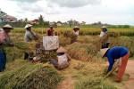PANEN PADI SERENTAK : Usai Panen Raya, Mentan Luncurkan Beras Premium 7.500