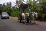 FOTO KENDARAAN TRADISIONAL : Gerobak Sapi yang Kian Langka