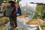 PERTANIAN TEMANGGUNG : Demplot Mekongga Hasilkan 6,9 Ton Gabah