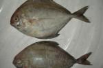 PROGRAM PEMKAB : Kudus Kampanyekan Gemar Makan Ikan