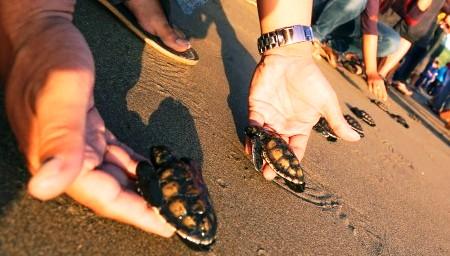 FOTO HEWAN LANGKA : Tukik Mungil Dilepaskan di Pantai Serang