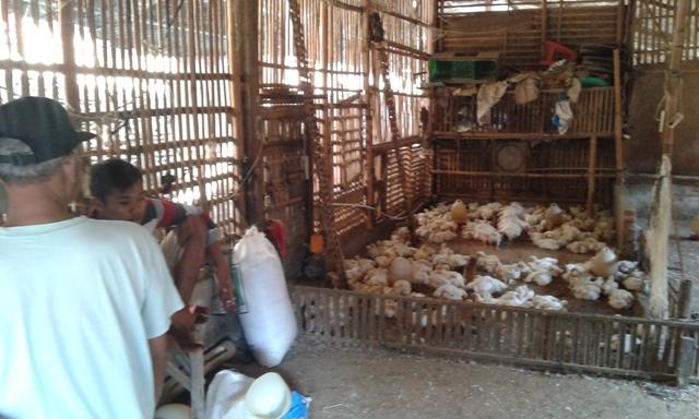 RAMADAN DAN LEBARAN 2015 : Permintaan Naik, Pedagang Lebih Selektif Pilih Ayam dari Peternak