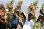 FOTO PERTANIAN JATIM : Menteri Pertanian Panen Bawang Nganjuk
