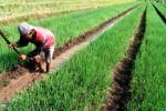 FOTO PERTANIAN SEMARANG : Petani Bawang Andalkan Air Embung