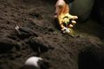SATWA LANGKA : Pantai Alami Abrasi, Jumlah Sarang & Telur Penyu Menurun