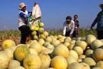 PERTANIAN MADIUN : Petani Melon Ngawi Dirugikan Kemarau 2015