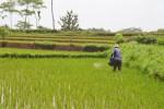Ilustrasi lahan pertanian di Sukoharjo. (Bony Eko Wicaksono/JIBI/Solopos)