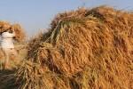 SWASEMBADA BERAS : Menteri Pertanian: Tak Ada Impor Beras Sampai Akhir Tahun!