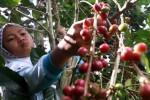KOMODITAS PERKEBUNAN : AEKI: Pemerintah Harus Dorong Petani Tanam Kopi
