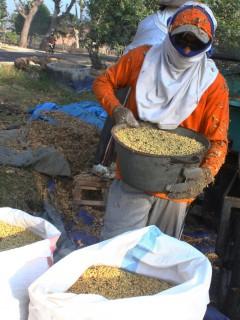 Petani merontokkan kedelai di Desa Bendo, Pangkur, Ngawi, Selasa (1/9/2015). (JIBI/Solopos/Antara/Ari Bowo Sucipto)