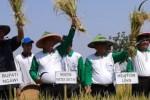 PANEN PADI SERENTAK : Panen Padi Serentak di 7 Provinsi Dipusatkan di Cilacap Hari Ini