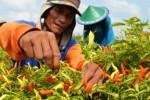 Jemput Cabai ke Magelang, Kementan Kirim Truk Berpendingin
