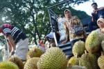FOTO PERKEBUNAN MADIUN : Begini Menggiurkan Durian Madiun…
