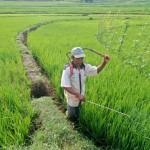 SAWAH TADAH HUJAN : Anomali Cuaca Ancam Panen Petani