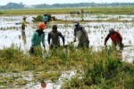 BANJIR KUDUS : 707 Hektare Sawah di Kudus Terancam Puso