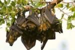 Kelelawar tidur (www.arkive.org)