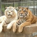 KISAH TRAGIS : Gagal Kawin Silang, Harimau Ini Jadi Buruk Rupa