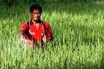 PERTANIAN NGAWI : Bulog Madiun Kesulitan Serap Gabah Petani Ngawi, Ini Penyebabnya