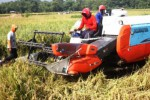 Pemanenan padi dengan combine harvester di Ngawi, Rabu (24/2/2016). (JIBI/Solopos/Antara/Ari Bowo Sucipto)