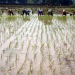 DINAMIKA PERTANIAN SRAGEN : Petani Rela Antre 26 Hari Demi Peroleh Buruh Tandur