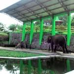 DOKTER DISERANG GAJAH : Ketua DPRD Wonogiri Minta Gajah Ditukar