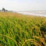 PERTANIAN JATENG : Petani Grobogan Tolak Wacana Impor Beras